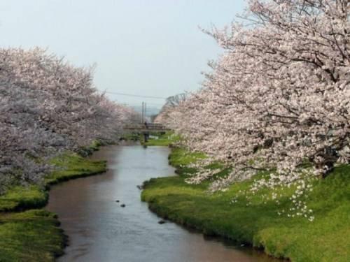 Деревья цветущие над рекой
