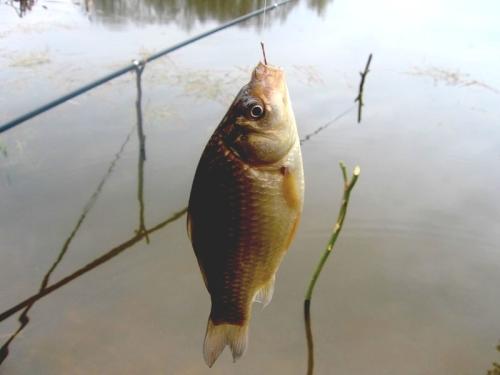 Карась – самая популярная из всех пресноводных рыб