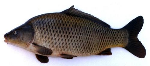 Карпа можно встретить практически в любых водоемах