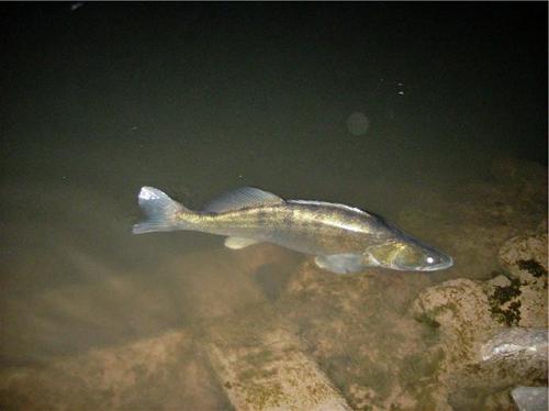 Ловля судака в ночное время суток