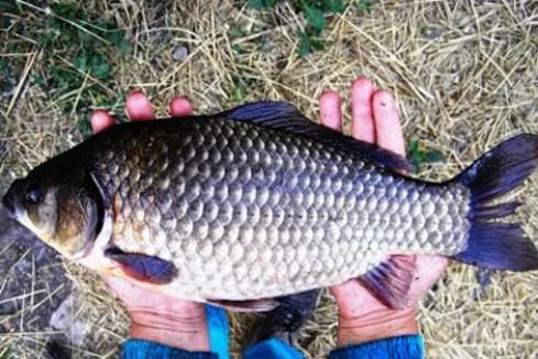 Карась распространенная повсюду рыба