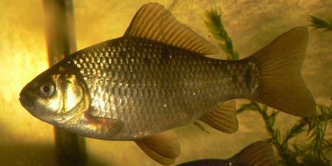 Карась рыба с удивительными биологическими свойствами