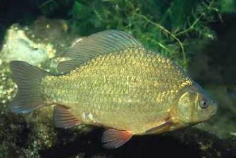 Карась самая неприхотливая рыба