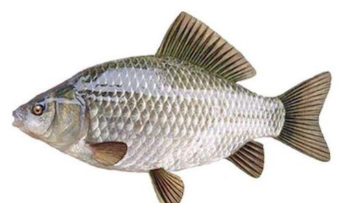 Карася легко отличить от других рыб