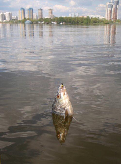 Рыба, поймана на удилище с боковым кивком