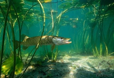 Места передвижения хищной рыбы