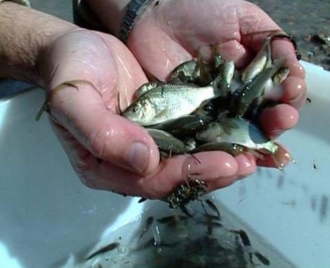 Живцы для рыбной ловли окуня
