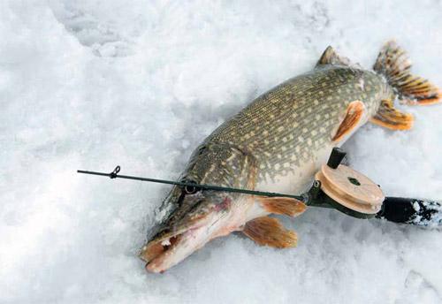 Ловля крупного хищника зимой