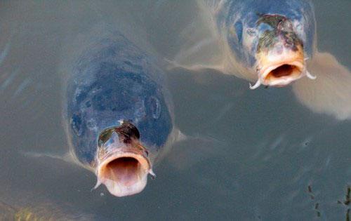 Карп, карась и другие виды рыб активно клюют на приманку из перловки
