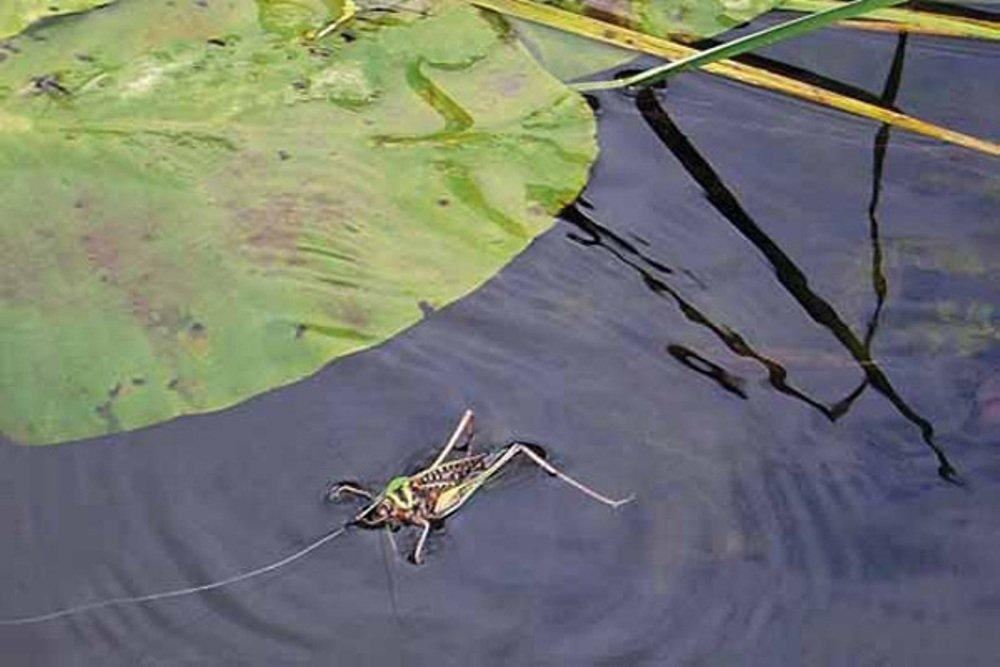 Кузнечик на поверхности воды
