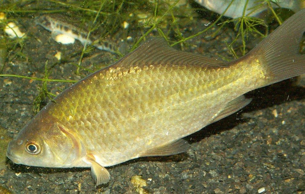 прикормка для рыбы горох с манкой