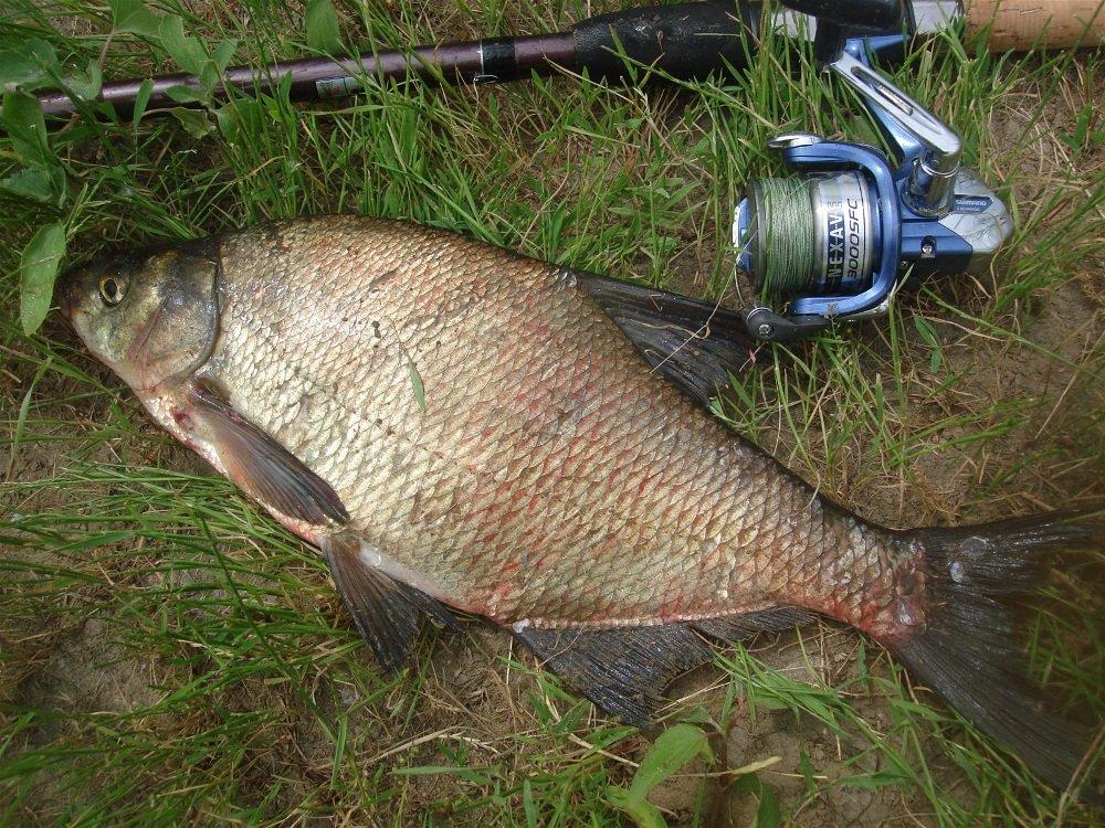 Рыба пойманная на горох