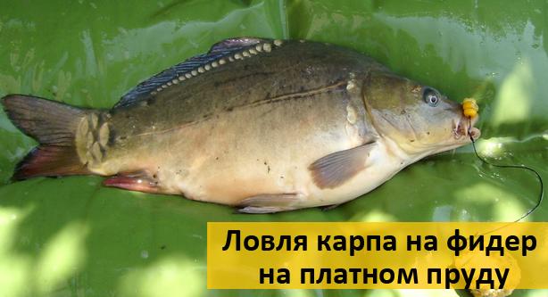 карп рыбалка на фидер