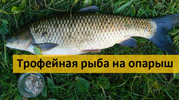 Трофейная рыба на опарыш