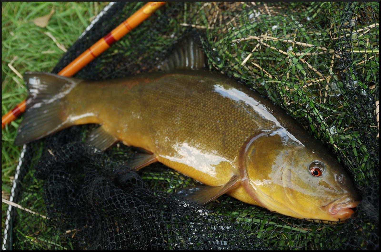 рыбная ловля линя