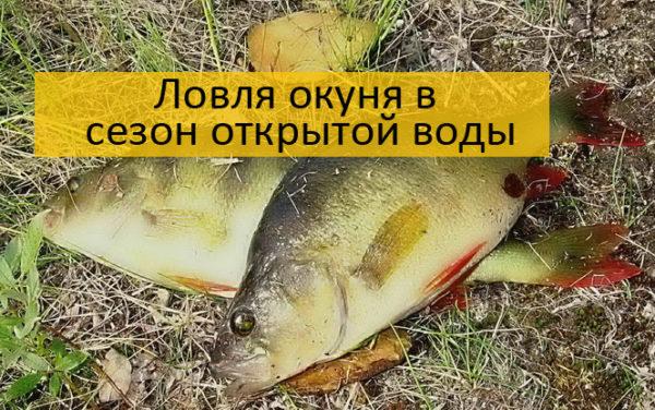 Ловля окуня в сезон открытой воды