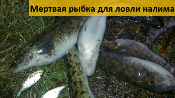 Мертвая рыба для ловли налима