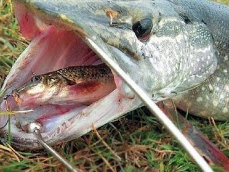 Бессмертная рыболовная классика: ловля щуки на живца!