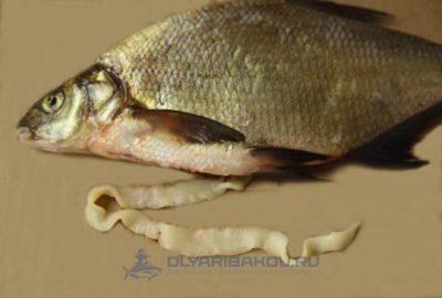 Все о лигулез рыб