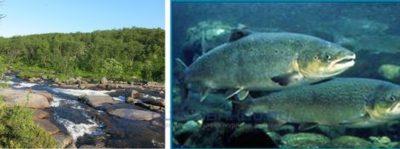 Аэромоноз у лососевых, симптомы и опасность