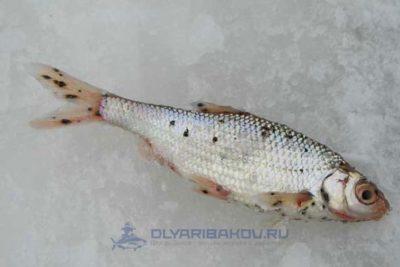 постодиплостоматоз рыб
