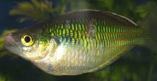 Микобактериоз рыб симптомы